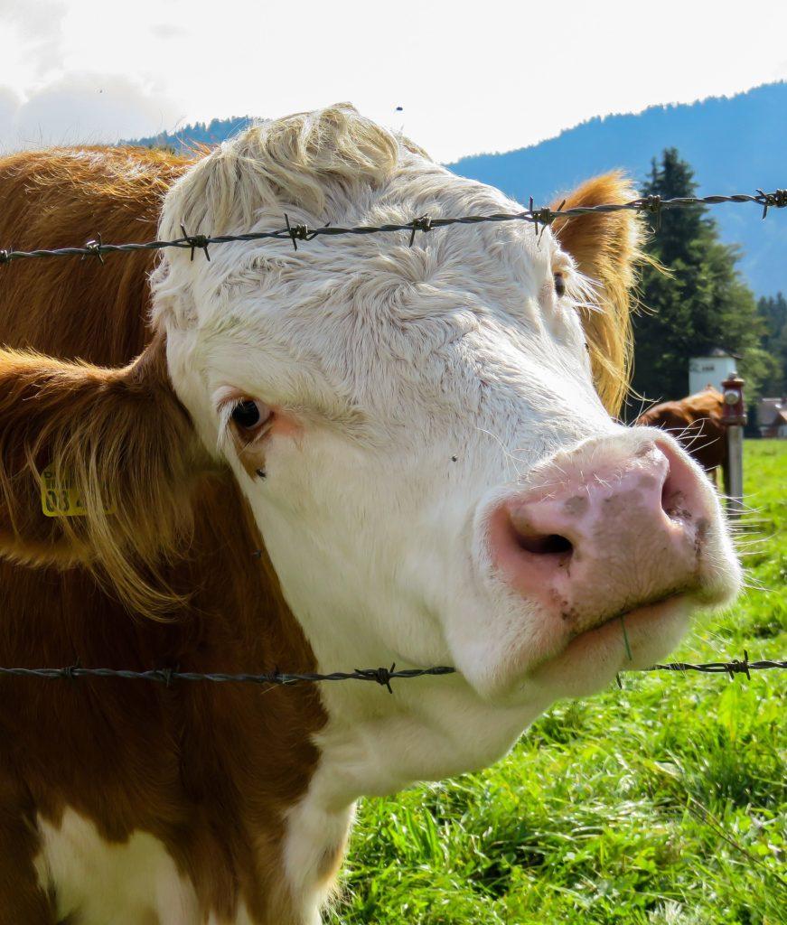 cow-1714381_1920